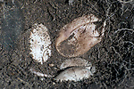 5 Wood turtle eggs in nest bottom.  The brown, collapsed egg is deceased, the rest are viable turtle eggs.