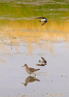 Greater Yellowlegs walking in pond and Tree Swallow flying overhead with reflections in the water at Ridgefield National Wildlife Refuge