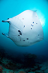 A fisheye view of a Manta Ray, Manta birostris, Goofnuw Channel, Valley of the Rays, Yap, Micronesia, Pacific Ocean