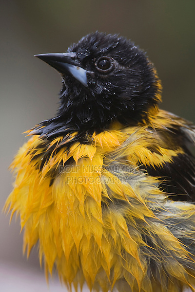 Audubon's Oriole (Icterus graduacauda), adult bathing, Rio Grande Valley, Texas, USA