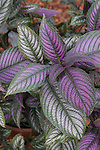 Tropical Shrub, Strobilanthes dyerianus