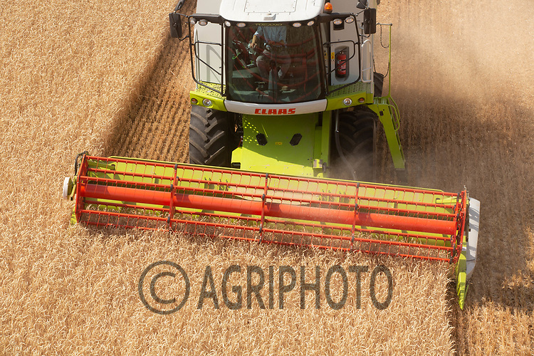 Harvesting wheat in Suffolk<br /> ©Tim Scrivener Photographer 07850 303986<br />      ....Covering Agriculture In The UK....