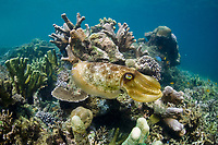 A Broadclub cuttlefish, Sepia latimanus, uses its chromatophores to blend into the coral reef of northern Raja Ampat, Papua, Indonesia, Pacific Ocean