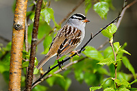 White-crowned Sparrow ( Zonotrichia leucophrys). Great Lakes region. May.