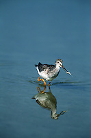 A Lesser yellowlegs (Tringa flavipes) is reflected on water as it carries its food.