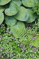 Lamium maculatum and hosta in shade garden