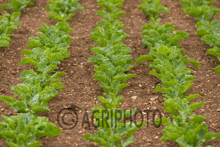 10-6-2021 Uneven germination in a sugar beet crop<br /> ©Tim Scrivener Photographer 07850 303986<br />      ....Covering Agriculture In The UK....