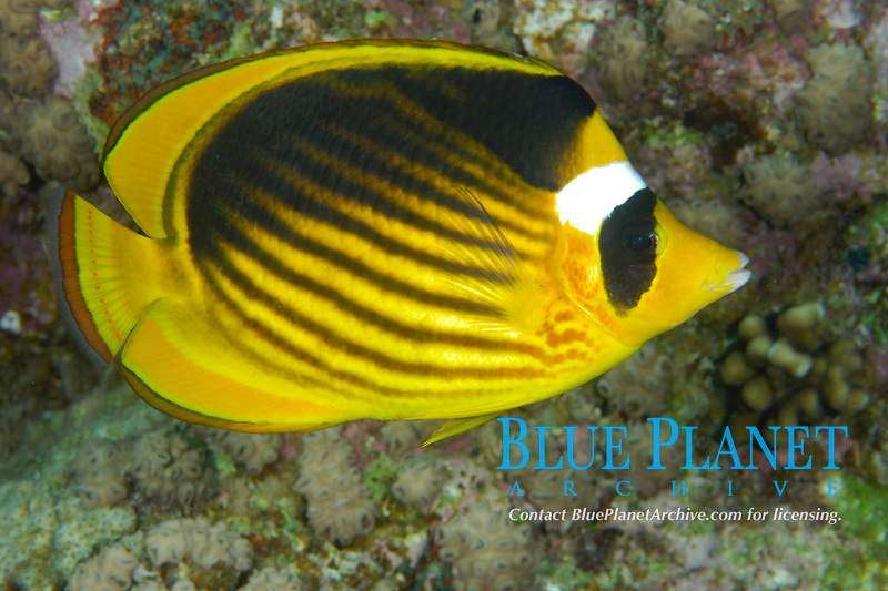 Red sea racoon butterflyfish, Chaetodon fasciatus, off coast of Hurghada, Red Sea, Egypt