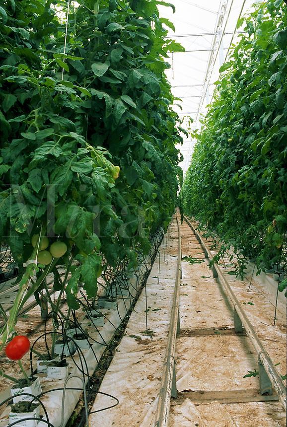 Rows of healthy tomatoes grown hydroponically in a greenhouse at Bonita Nurseries. Bonita, Arizona.
