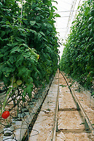 Rows of healthy tomatoes grown hydroponically in a greenhouse at Bonita Nurseries. Bonita, Arizona.