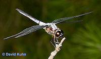 "0110-0914  Blue Dragonfly, Suborder: Anisoptera ""Virginia""  © David Kuhn/Dwight Kuhn Photography"