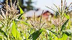 Corn stalks and barn at Community Supported Agriculture Farm, 47th Avenue Farm.   Luscher Farms Park, City of Lake Oswego, Oregon, USA.