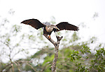 Anhinga drying its feathers in a tree in Costa Rica.