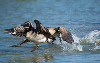 Two Canada Geese, Branta canadensis, charge at another goose in the Riparian Preserve at Water Ranch, Gilbert, Arizona