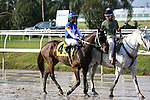 NEW ORLEANS, LA - JANUARY 21:<br />  Carve #4 ridden by Shaun Bridgmohan in the post parade before the Louisiana Stakes at the Fairgrounds Race Course on January 21,2017  in New Orleans, Louisiana. (Photo by Steve Dalmado/Eclipse Sportswire/Getty Images)