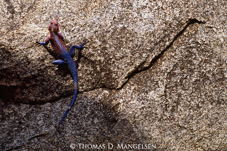 An agama lizard climbs a rock in Serengeti National Park, Tanzania.