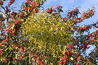 Viscum album mistletoe in tree with Cotoneaster frigidus 'Cornubia'