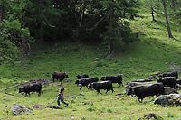 SWITZERLAND Kanton Wallis, agriculture in the mountains, grazing Erringer milk cows, the milk is the base of Raclette cheese / SCHWEIZ Kanton Wallis, Landwirtschaft auf Alpen zur Beweidung von Flaechen und Vermeidung von Verbuschung der Kulturlandschaften, Erringer Kuehe auf der Alpe Col du Lein , von Nicolas und Natalie Rouiller, aus der Milch wird der Raclette Kaese hergestellt