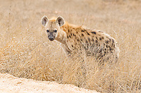 Spotted hyena (Crocuta crocuta), cub, standing on the edge of a dirt road, Kruger National Park, South Africa, Africa