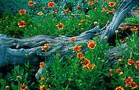 Scenic view of lush wildflowers - (Gaillardia pulchella). Arizona.