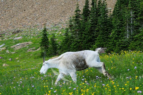 Mountain Goat (Oreamnos americanus) walking through subalpine meadow of wildflowers.  Glacier National Park, Montana.  Summer.