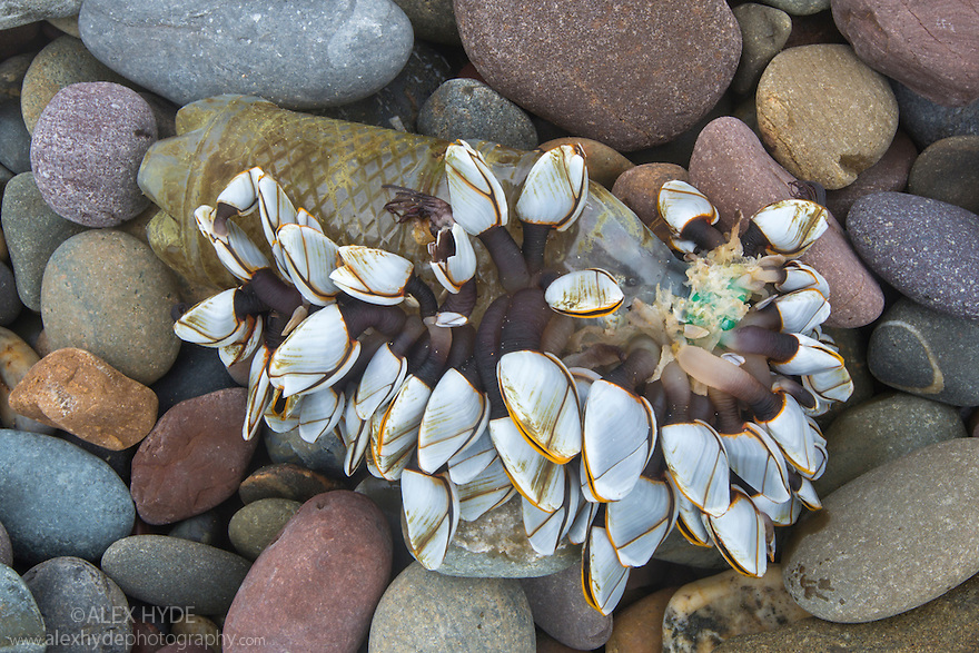 Pelagic Gooseneck Barnacle / Smooth Gooseneck Barnacle colony {Lepas anatifera} attached to a plastic bottle washed up on a beach following heavy storms. This species is found attached to flotsam floating at sea. Pembrokeshire, Wales, UK. January.