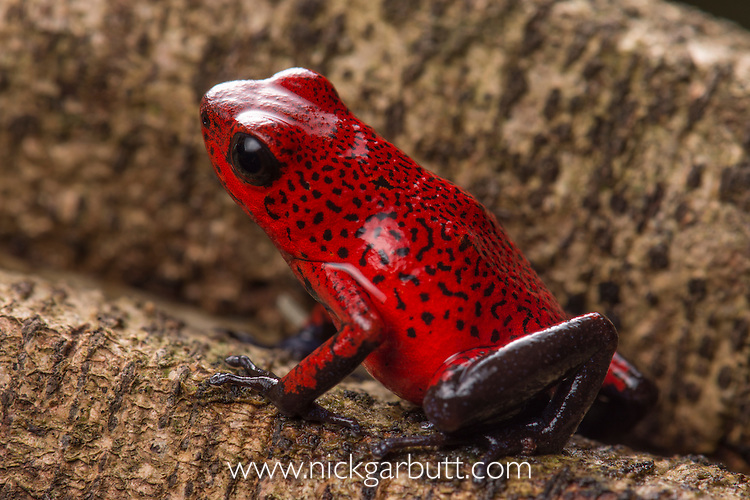 Strawberry Poison Dart Frog (Oophaga pumilio) on forest floor. Boca Tapada, Caribbean slope, Costa Rica, Central America.