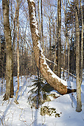 Franconia Notch - Wind tipped tree in the area known as Hardwood Ridge in Lincoln, New Hampshire USA during the winter months.