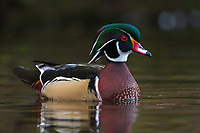 Wood Duck (Aix sponsa). Multnomah County, Oregon. March.