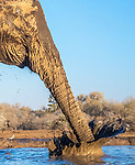 Botswana, Central District, African bush elephant (Loxodonta africana)<br /> <br /> Canon EOS-1D X Mark II, EF24-70mm f/4L IS USM lens, f/11 for 1/640 second, ISO 4000