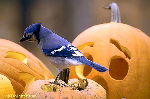 1J02-020z  Blue Jay - on Jack-o-lantern - Cyanocitta cristata