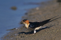 Red-rumped Swallow, Hirundo daurica, adult collecting nesting material, Samos, Greek Island, Greece, April 1994