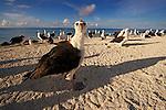 Laysan Albatross (Phoebastria immutabilis) fledglings on beach waiting for stronger winds to practice flying, Midway Atoll, Hawaiian Leeward Islands, Hawaii