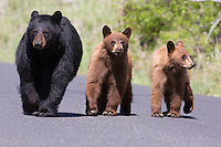Wildlife has the right-of-way on all roads in Yellowstone - and any where else they want to go, for that matter.  I found this Black bear(Ursus americanus)family of mother (sow) in black and two yearling cinnomon cubs walking up the road which leads to Petrified Tree.