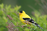 Male American goldfinch (Carduelis tristis) perched on a branch