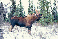 bull moose, Alces alces, calling in snow, Denali National Park, interior of, Alaska, USA