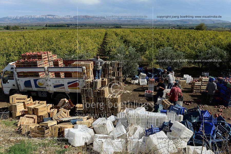 TURKEY, Antakya, farmer harvest pomegranate / TUERKEI, Antakya, Bauern ernten Granatapfel