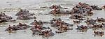 Kenya, Olare Motorogi Conservancy, Hippopotamus (Hippopotamus amphibius)