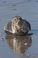 Kegelrobbe, Kegel-Robbe, Kegel - Robbe, Halichoerus grypus, Grey Seal, Phoque gris