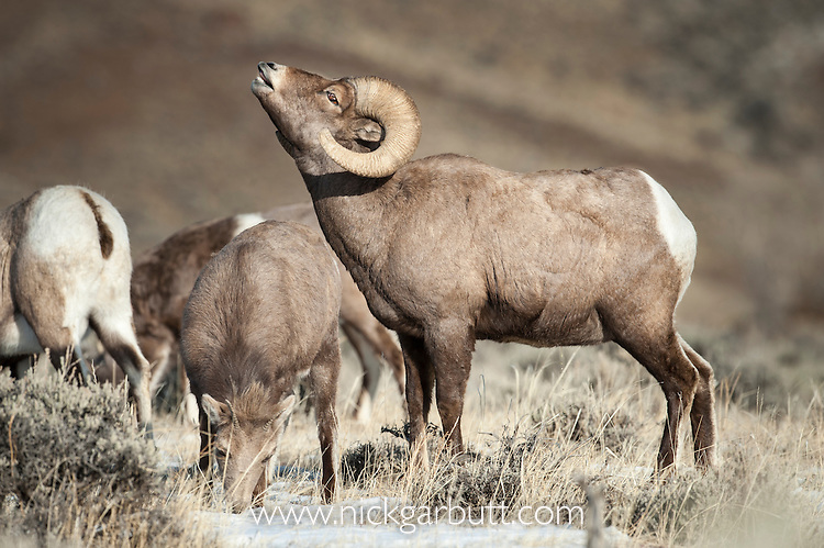 Male Bighorn Sheep (Ovis canadiensis) exhibiting the flehmen response after smelling the urine of a female. Shoeshone River Valley, eastern outskirts of Yellowstone National Park, Wyoming, USA.
