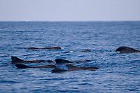 Short finned pilot whales, Globicephala macrorhynchus, logging, Kona coast, Big Island, Hawaii, Pacific Ocean