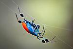 Long-jawed orb weaver spider (Opadometa sp) Montane mossy heath forest or 'kerangas', southern plateau, Maliau Basin, Sabah's 'Lost World', Borneo.