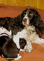 SH23-005z  Dog - English Springer  mother with puppies 3 weeks  old