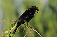 Bronzed Cowbird, Molothrus aeneus, male, Welder Wildlife Refuge, Sinton, Texas, USA, June 2005