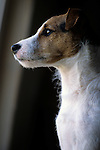 Jack Russell Terrier alertly sitting on back of couch looking out the window Marysville Washington State USA