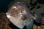 Gray Triggerfish swimming left full body view