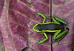 A close-up of a Poison Arrow Frog, Peru