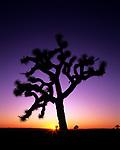 Joshua Trees National Park