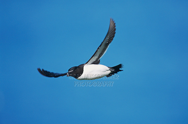 Tordalk, Alca torda,adult in flight, Hornoya Nature Reserve, Vardo, Norway, June 2001