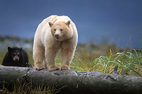 spirit bear, kermode, black bear, Ursus americanus, mother with cub walking on a log at high tide along the coast in the rainforest of the central British Columbia coast, Canada